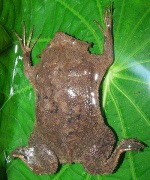 Жаба пипа суринамская в аквариуме