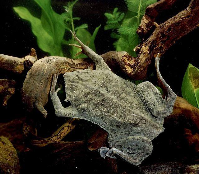 Жаба пипа суринамская в аквариуме.