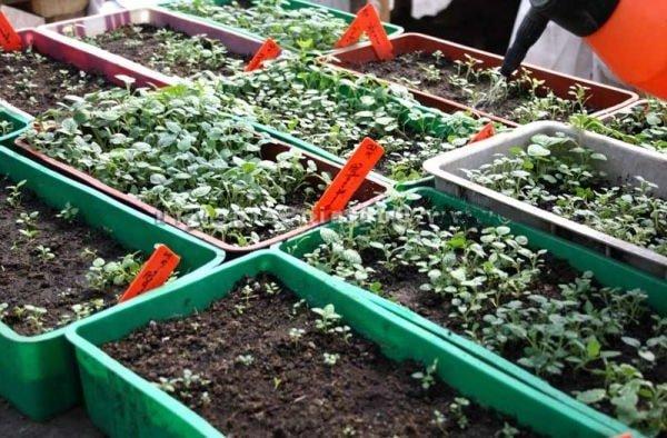 Как вырастить картофель из семян в ящиках для рассады