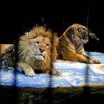Львы и тигры в цирке – дрессировка крупных кошек