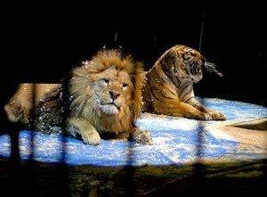 Львы и тигры в цирке — дрессировка крупных кошек