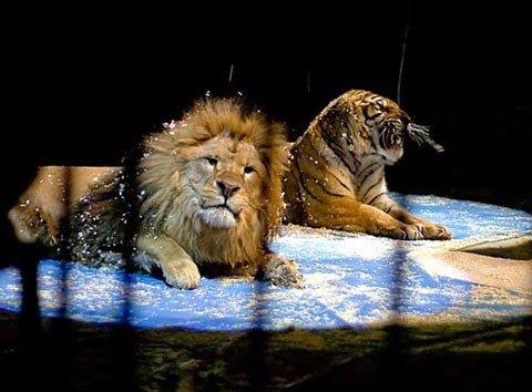 Львы и тигры в цирке