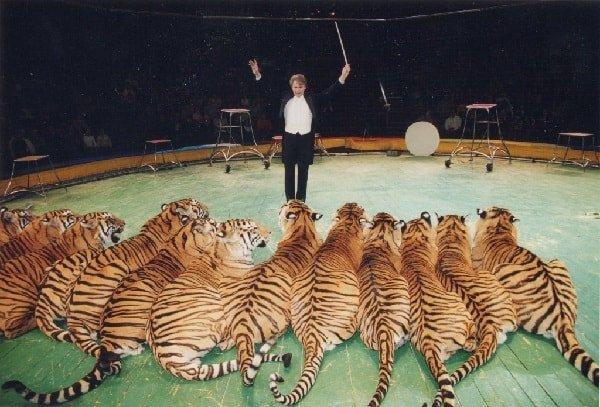 Тигры в цирке - дрессировка крупных кошек