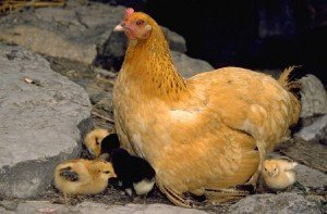 Выведение цыплят курицей