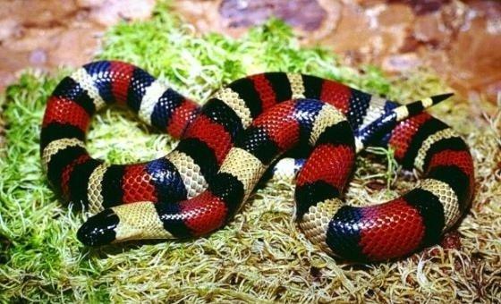 Молочные змеи Lampropeltis triangulutn