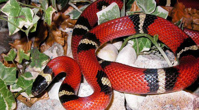 Молочные змеи дома.