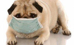 Способы лечения насморка у собаки