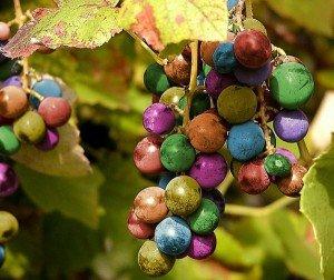 Виноград — интересные факты, выращивание на вино