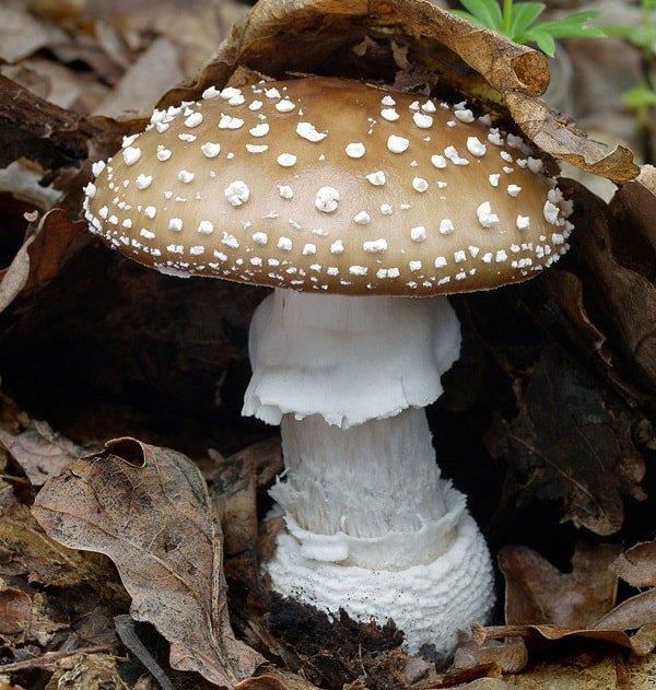 Какие грибы нельзя собирать и есть - Мухомор пантерный