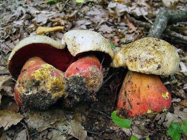 Какие грибы нельзя собирать и есть - Сатанинский гриб