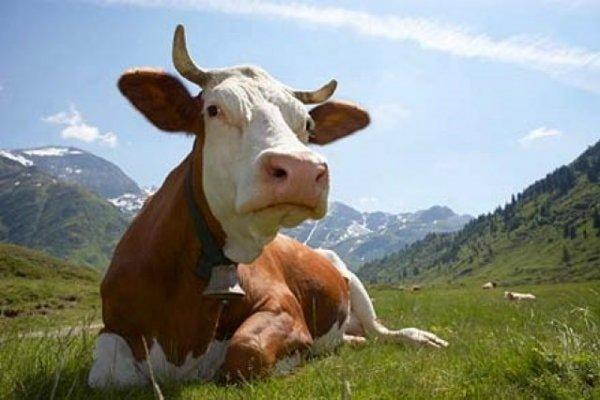 Отравление коровы – виды, симптомы, лечение
