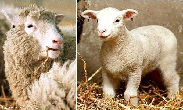 Клонирование овечки Долли