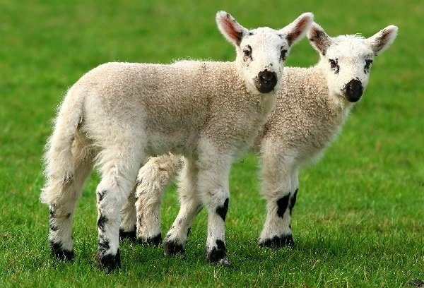 Клонирование животных