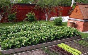 Разведение ягодных культур на садовом участке