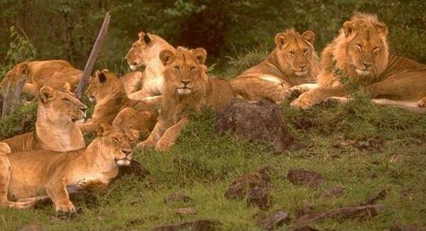 Африканские львы – среда обитания и образ жизни