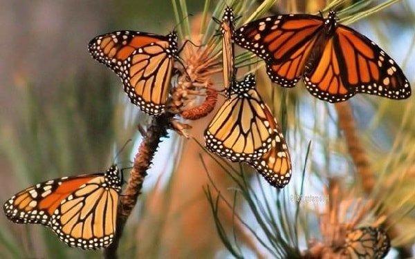 Данаида бабочка монарх