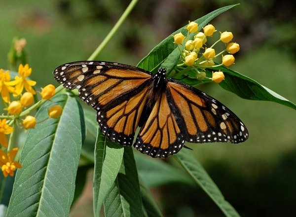 Бабочка монарх данаида