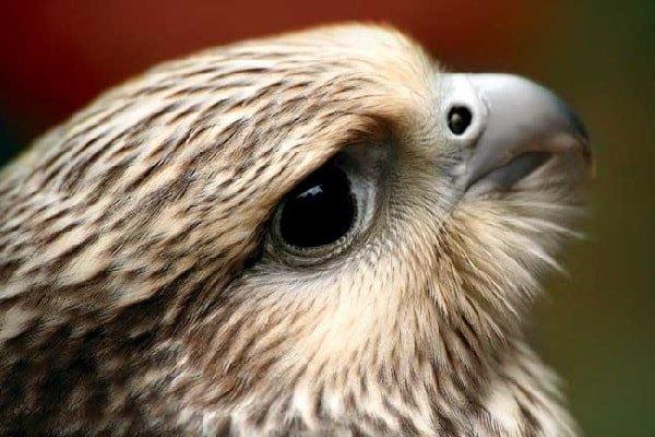 Разведение хищных птиц в домашних условиях