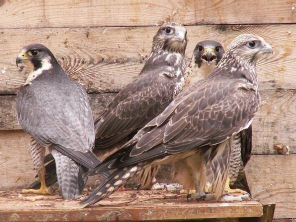 Разведение хищных птиц в неволе