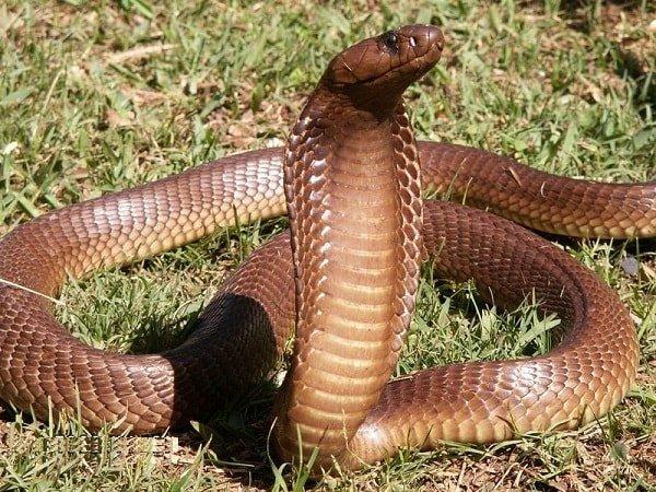 Самые опасные животные Африки - капская кобра