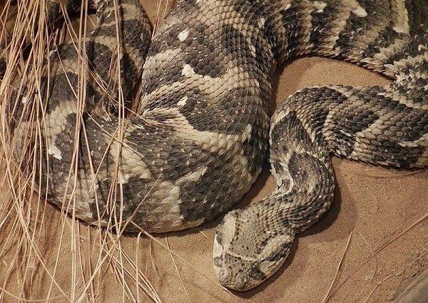 Самые опасные животные Африки - африканская кобра
