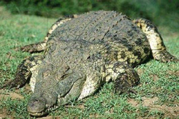 Самые опасные животные Африки - нильский крокодил