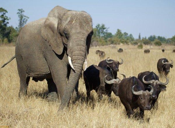 Самые опасные животные Африки буйволы и слоны