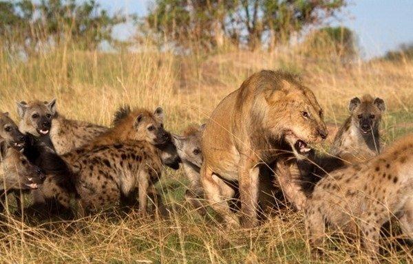 Самые опасные животные Африки львы и гиены