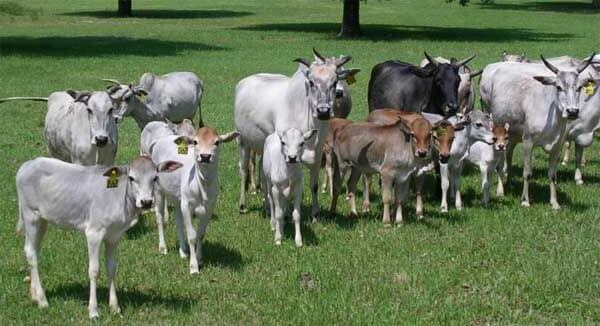 Корова зебу фото животного
