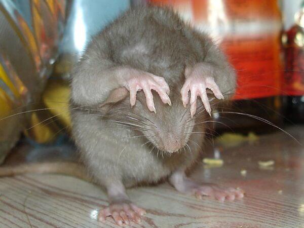 Крысы – серые, домашние, способны съесть своих сородичей