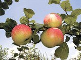 Словно мёдом наливаются яблоки