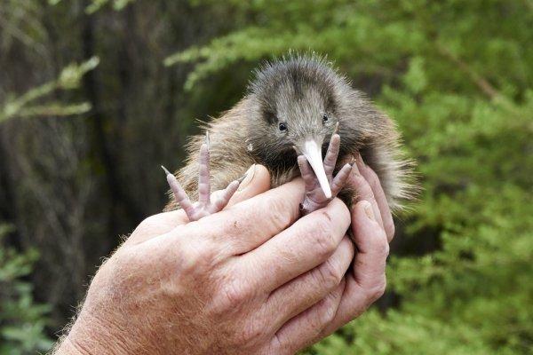 В Новой Зеландии уничтожат абсолютно всех хищников