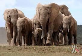 В Африке запланировали великое переселение слонов