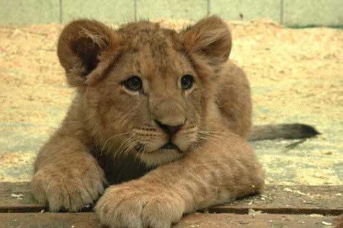 Две бабушки вырастили льва в деревне.