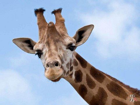 На Тайване жираф умер от страха, когда его пытались представить невесте