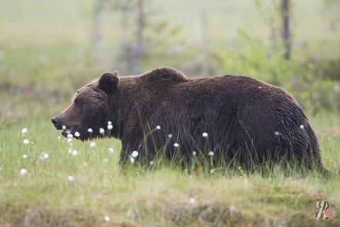 В Карелии медведь зачастил к садоводам-любителям