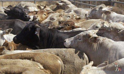 В Беларуси зубр прибился к стаду коров и стал с ними жить