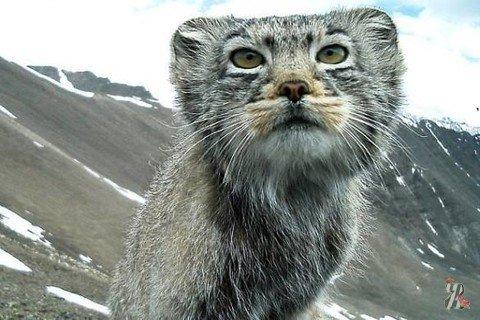 Еще один кот стал героем интернета – на этот раз манул из Горного Алтая