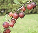 Новобранцы плодового сада