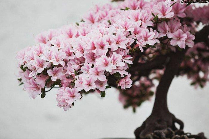 Застывшая красота: великолепные фотографии деревьев-бонсай