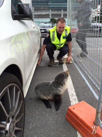В Новой Зеландии детеныш тюленя заблудился и «сдался» в полицию