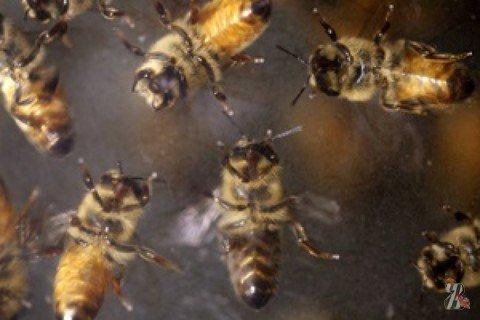 В Калифорнии пчелиный рой гонял по пляжу толпу людей