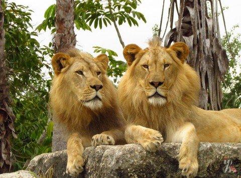 В Лейпциге из зоопарка сбежали львы…