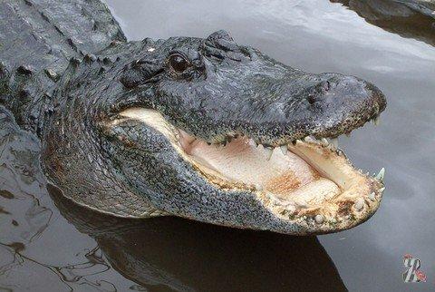 В США крокодил чуть не съел бездомного