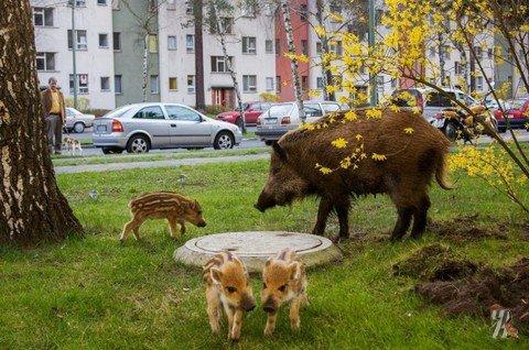 В Петербурге появились дикие кабаны, и они — голодные!