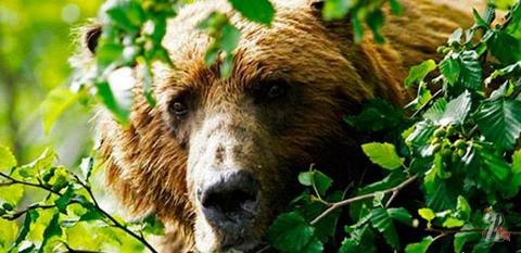 В Латвии медведь сорвал чемпионат грибников