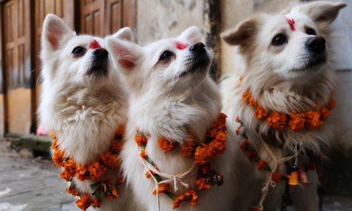 Все лучшее — собакам: праздник в Непале, восхваляющий четвероногих друзей человека