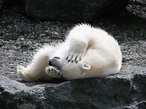 Белый медведь. Друг или враг?