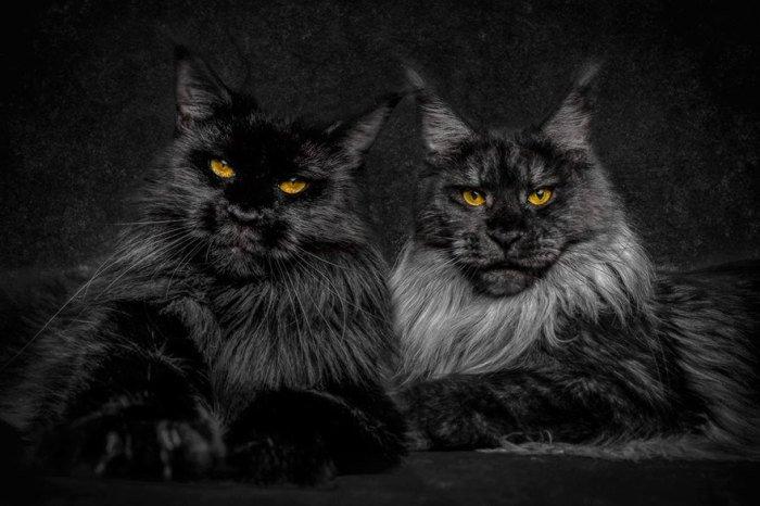 Мэйн кун фото Львы среди котов: фотографии невероятно красивых котов породы мейн-кун