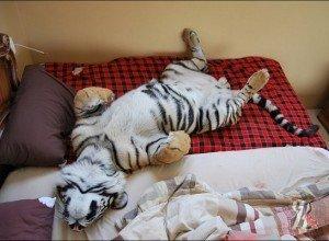 Жители Новороссийска встали на защиту земляка, у которого отобрали тигренка
